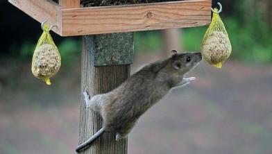 Rattenplaag In Tuin : Bruine ratten in de tuin