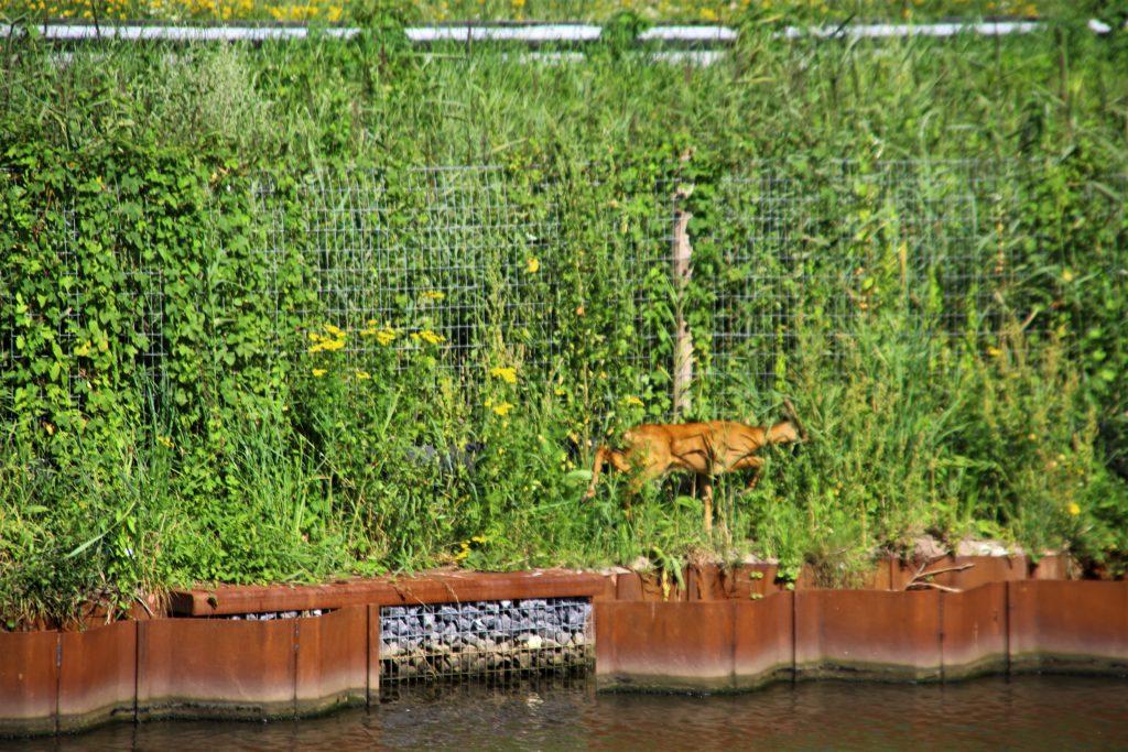 30-07-2020 Dier te water Zuid Willemsvaart Keldonk 3