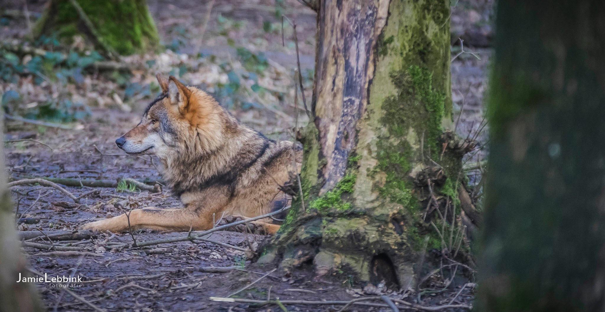 Wolf - Jamie Lebbink Fotografie