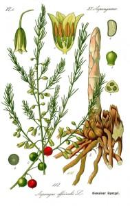 illustration-asparagus-officinalis0b