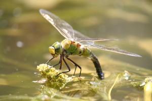 dragonfly-815139_960_720