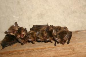 Vleermuis, Vleermuizen (Chiroptera), Zoogdieren (Mammalia), fauna, Vleermuis, zoogdier -