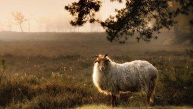 Drents heideschaap (Ovis domesticus), Schapen (Bovidae), Evenhoevigen (Artiodactyla), Zoogdieren (Mammalia), fauna, schaap, zoogdier - Nationaal Park Dwingelderveld, Dwingeloo, Drenthe, Nederland, Europa, Nationaal Park Dwingelderveld