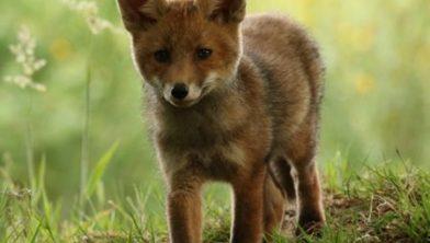 Schade door de vos wordt niet vergoed.