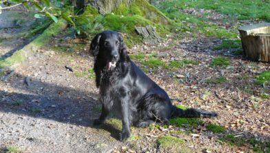 Flat-coated retriever Jack